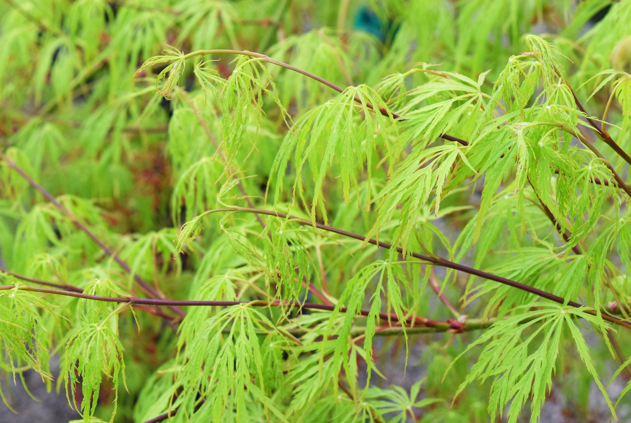 Japanese Maple Virdis