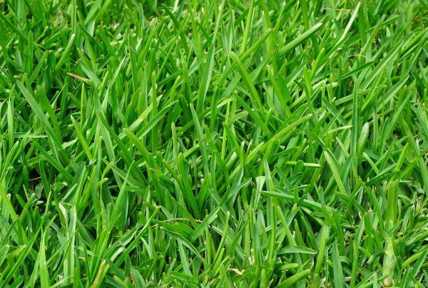 Fescue Grass Detail