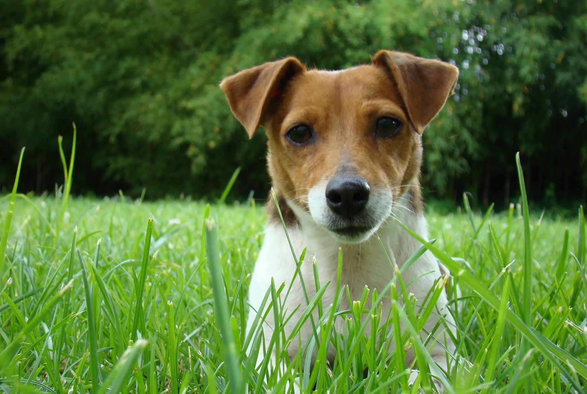Dog in Fescue Grass