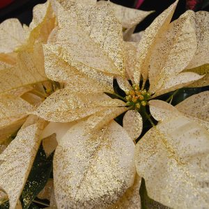 Glittered Poinsettia
