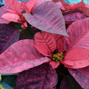 Painted Poinsettia