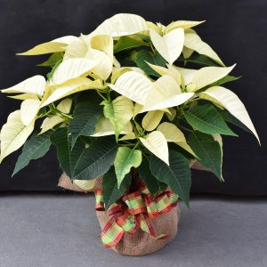Burlap Wrapped White Poinsettia