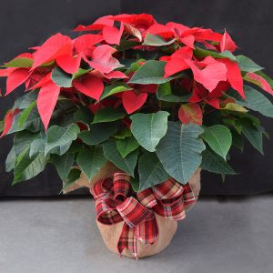 Burlap Wrapped Red Poinsettis