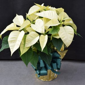 Gold Wrapped White Poinsettia