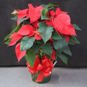 Green Wrapped Red Poinsettia
