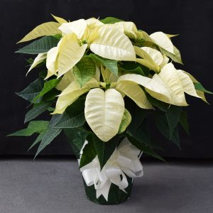 Green Wrapped White Poinsettia
