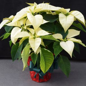 Red Wrapped White Poinsettia