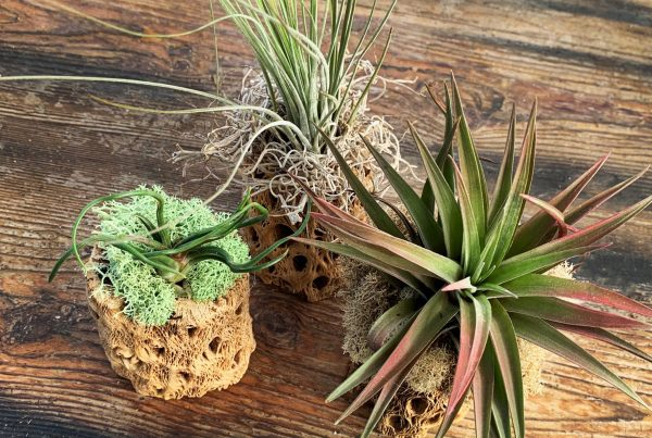 Tillandsia Love Workshop