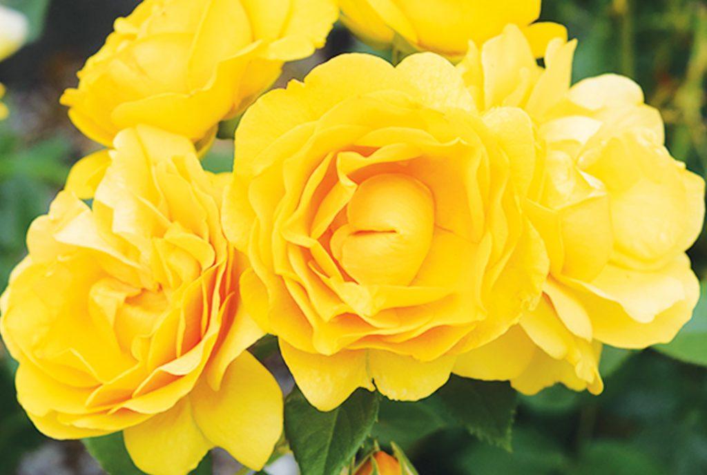 Ready for Roses_WEB_v1