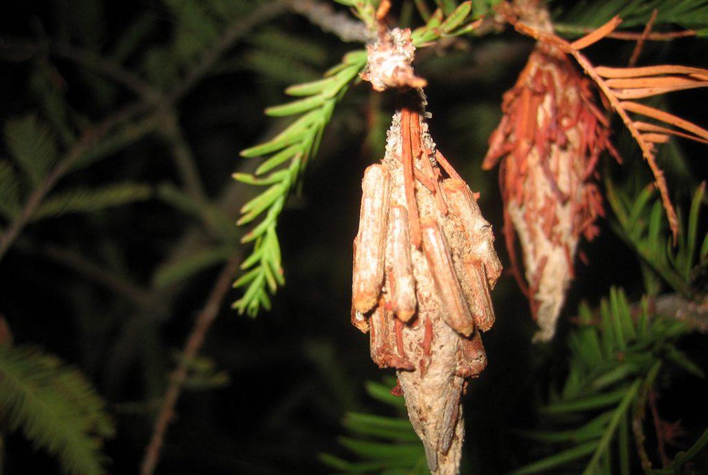 Beating Bagworms_WEB_MAY2020