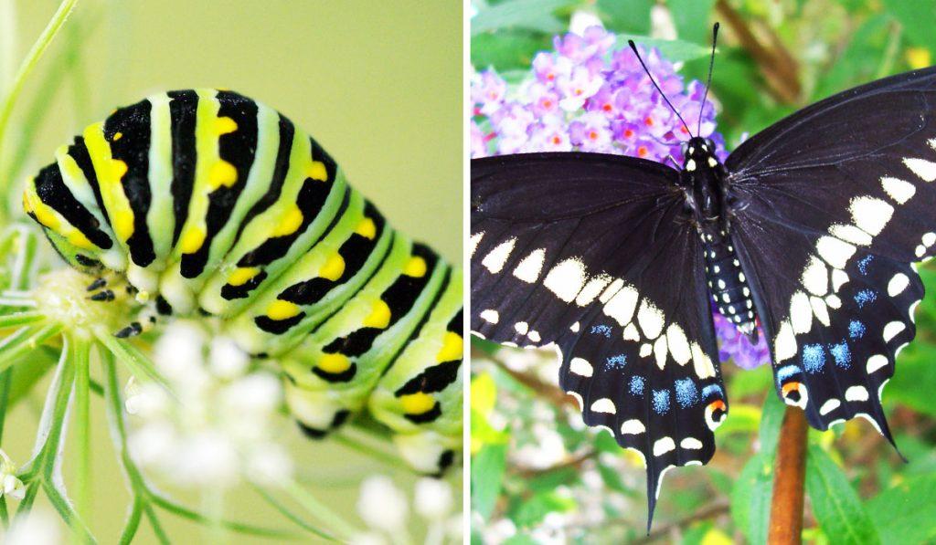 Black-Swallowtail_WEB_AUG2020.jpg_v2