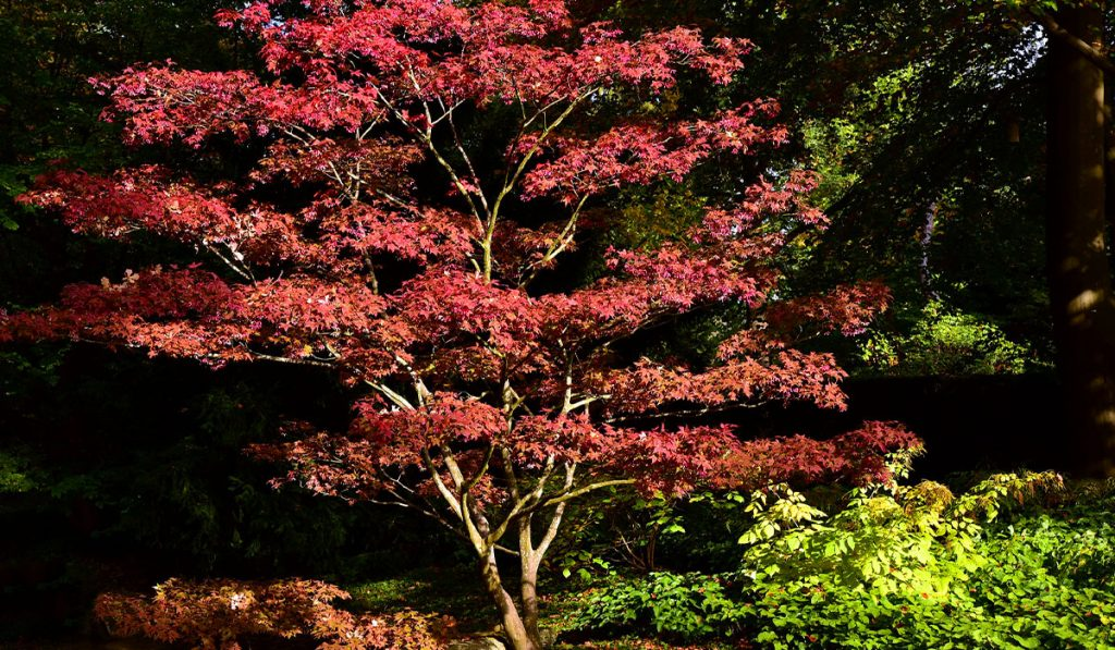 More Japanese Maples_WEB_APR21