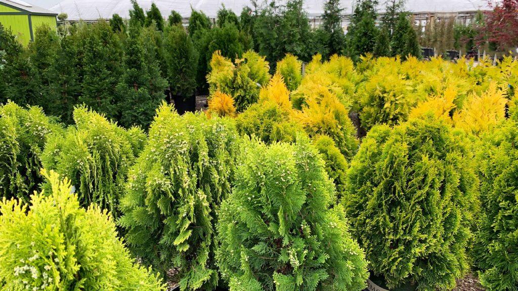 Conifers Evergreens_WEB_APR2021