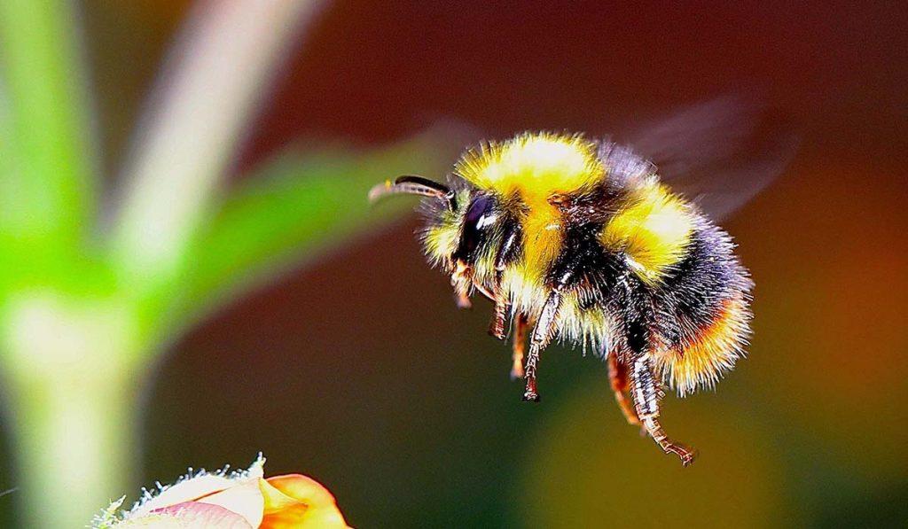 Native Bees_WEB