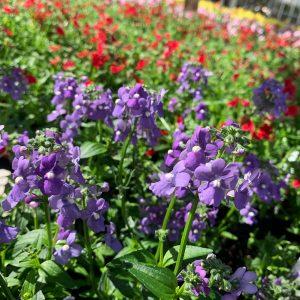 Bedding Plants (Annuals)