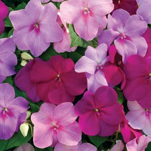 Bedding Plants for Shade