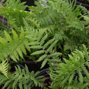 Fern Perennial