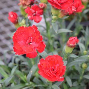 Dianthus Perennials