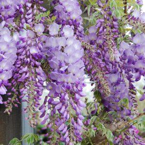 Other Flowering Shrubs