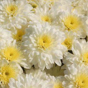 Mum Aspen White 4 1/2″