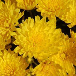 Mum Goldcrest Yellow 4 1/2″