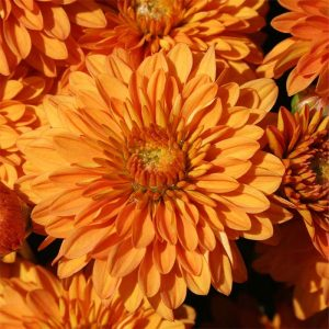 Mum Hannah Orange 4 1/2″
