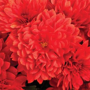 Mum Tabitha Scarlet Red 10″